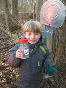 collecting sap from tapped trees