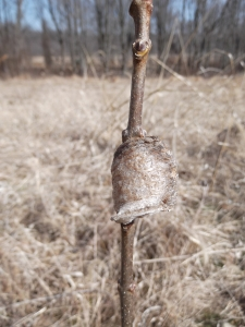preying mantis egg case